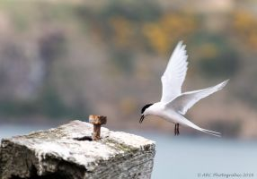 Tern in Flight by ARC-Photographic