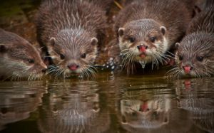 Thirsty otters by cathy001