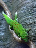 AMNH: Liddle Green Gecko by antinonconformist