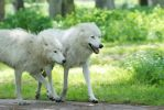 White Wolves of Denmark by tomorgel
