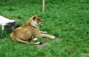 Lion 5 -- Aug 2009 by pricecw-stock