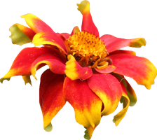 Red and Yellow Persian Zinnia by Thy-Darkest-Hour