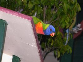 rainbow lorikeet 2 by sealkisses