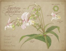 Impatiens glandulifera by cambium