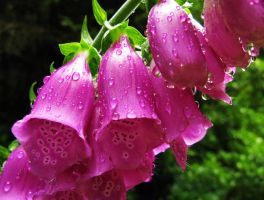 Digitalis purpurea by JoannaMoory
