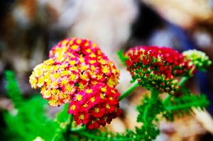 Bright Yarrow by Grace-love-kindness