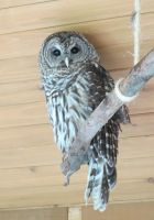 Hamlet the Barred Owl 1a by Windthin