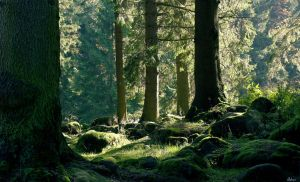 coniferous forest by Wielgos