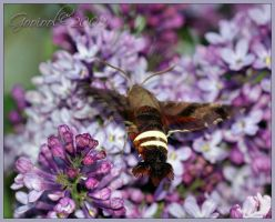 Hummingbird or bee moth by Gooiool