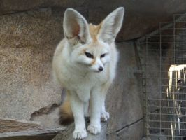 Fennec Fox - Full by dtf-stock