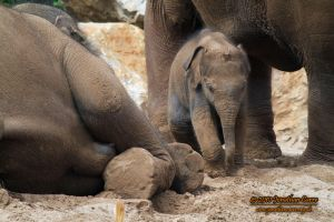 110810 Asian Elephants 2 by InsaneGelfling