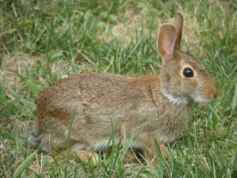 Eastern Cottontail Rabbit by Destroyah93