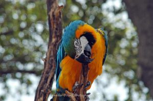 Blue-and-Gold Macaw 1 by MorrighanGW