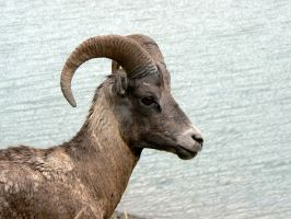 Ram 6 18-08-06 by Sweetpepper-stock