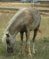 Miniature Horse 1 by stockhorse