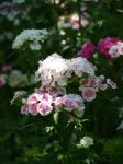 Sweet William 08 by botanystock