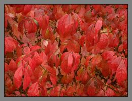 Red leaves 1. DSCN3396, with story by harrietsfriend