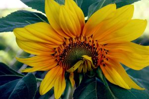 Sunflower 5 by morganlynn