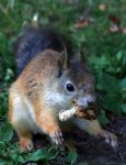Daily Squirrel - Not. by TomiTapio