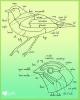 Bird Anatomy by Alyssa-Rice