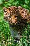 Chinese Panther _ stock image by sekhmet-stock