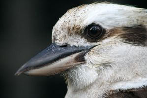 Kookaburra Portrait 2 by Ravenari