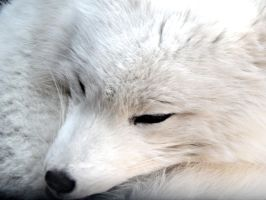 The Detroit Zoo - Arctic Fox by GrandeChartreuse