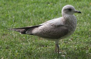 Young seagull7 by Skudde-Textures