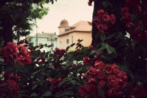 Beautiful Roses by KenyT