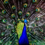 Indian Blue Peacock by DieselFuel