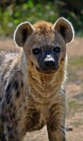 Spotted Hyena by Risii