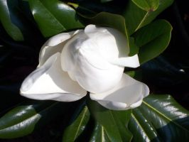 Summer White - Magnolia 3 by WalnutHill