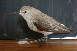 Mounted Dunlin female by Lot1rthylacine