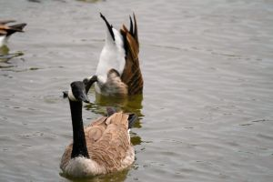 Canada Goose 4104 by DG-Photo