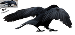 Cut-out stock PNG 73 - protecting crow by Momotte2stocks
