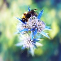 Bumblebee on blue thistle by kyptanuy
