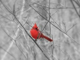 Cardinal by LauraMizvaria