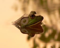 Frog reflection by skilly007