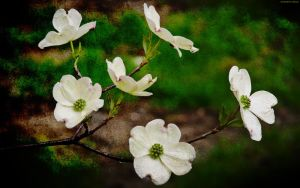 Dogwood by StarwaltDesign