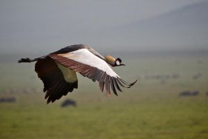 Crown Crane on Wing by Simon-Hunt