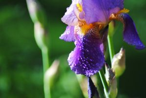 Iris Droplets 1 by Tyyourshoes