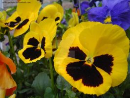Pulchritudinous Pansy by In-the-picture