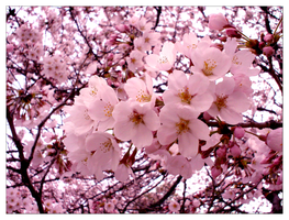 Cherry Blossom by emsox