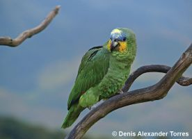 Orange-winged Amazon by torreoso