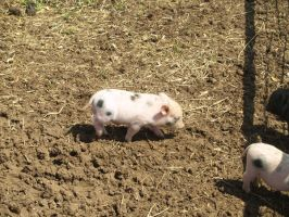 adorable piglet stock by Irie-Stock
