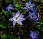 Weed Series-Blue-Eyed Grass by pitbulllady