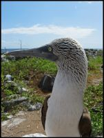 Booby by StormPetral0509