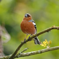 Male Chaffinch by TamarViewStudio