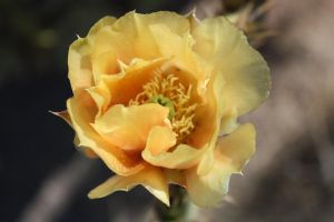 Yellow Cactus Flower by TalkingBull