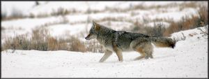 Coyote in the snow by viking10